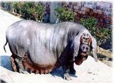 供应母猪价格最新山东母猪行情图片