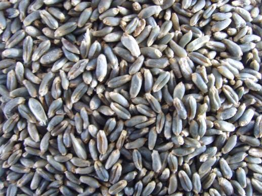 小麦种子图片_【小麦种子图片大全】小麦种子图片库、图片网_一呼百应