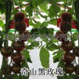 供应美国进口冬宝西葫芦种子  奇山寒玉杂交西葫芦种子