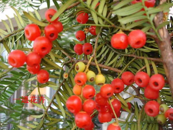 红豆杉种子批发