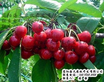 怎样辨别樱桃品种呢:看外形,叶子,颜色,各种形态指标图片