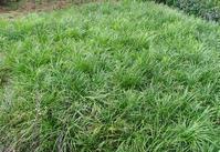 供应麦冬草的种植业