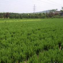 供应龙柏种植业