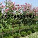 南京5公分紫薇价格图片