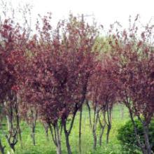供应绿化苗木-松柏类,色块类,行道树,梅花类,月季类