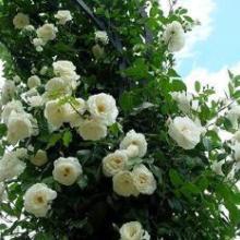 供应:日本无刺蔷薇,野蔷薇,粉团蔷薇,蔷薇苗图片
