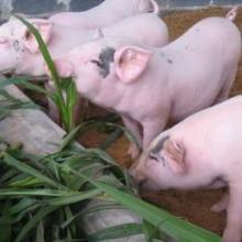 供应皇竹草甜象草喂猪