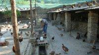 供应山鸡养殖技术—唐先生15885512836