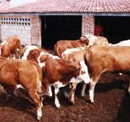 肉牛养殖技术肉牛价格肉牛选种肉牛图片