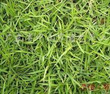 供应厦威夷草- 广东厦威夷草卷