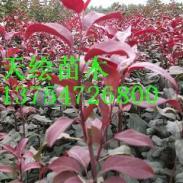 彩叶北美海棠图片