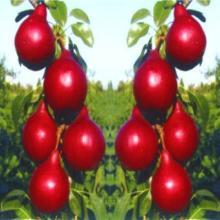各种占地果树苗木葡萄苗