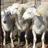 供应肉羊小尾寒羊繁殖小尾寒羊