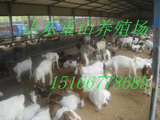 供应农民肉羊养殖的正能量波尔山羊养殖