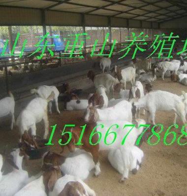 波尔山羊图片/波尔山羊样板图 (1)