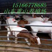 肉羊试养利润广东肉羊波尔山羊价格图片