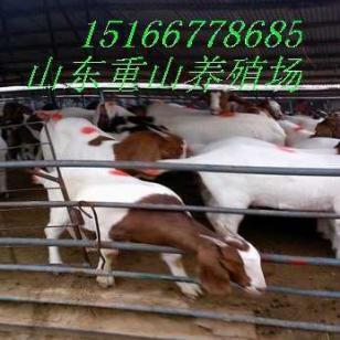波尔山羊最低价格图片