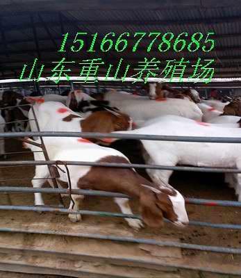 波尔山羊养殖场图片/波尔山羊养殖场样板图 (3)