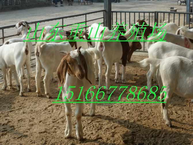 供应纯种波尔山羊山东波尔山羊养殖利润