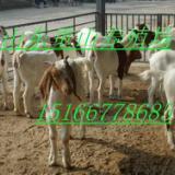 供应肉羊养殖波尔山羊小尾寒羊补贴政策