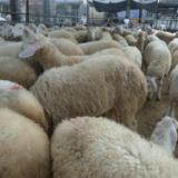 供应小尾寒羊几个月适合引种