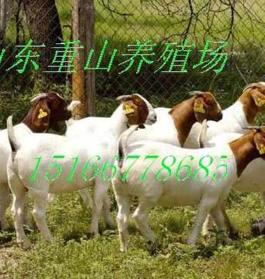 波尔山羊图片/波尔山羊样板图 (3)