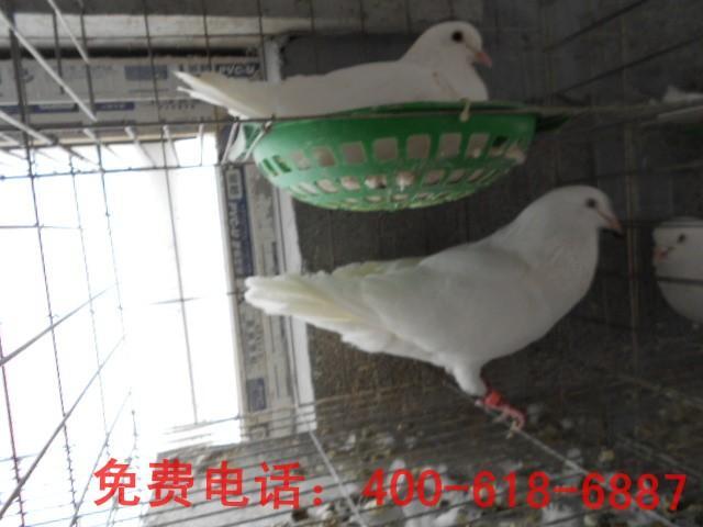 肉鸽 山东/肉鸽图片|肉鸽样板图|肉鸽品种/山东汽车租赁公