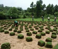 供应黑麦草尽在句容守保万亩草坪批发