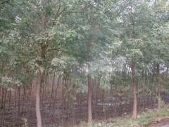 供应北京国槐,北京南150公里处。保定市苗圃基地大量提供大小国槐