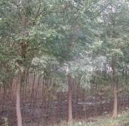 平头国槐树图片