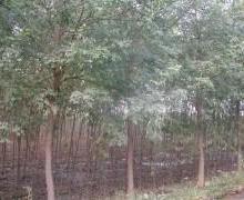 供应北京国槐,北京南150公里处。保定市苗圃基地大量提供大小国槐批发