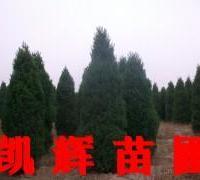 供应河南侩产地价,河南侩柏产地价,河南侩树苗基地,河南柏树基地。
