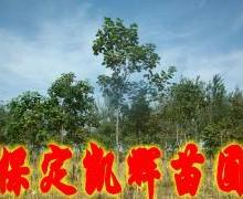 澳洲火焰木树苗报价