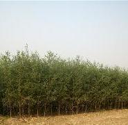 速生柳种植地图片