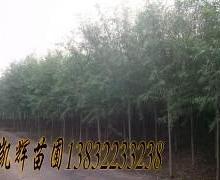 供应速生柳种植园。种植养殖基地园!速生柳交易批发市场出售柳树树苗批发