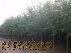 速生柳种植园图片