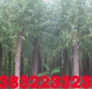 漳河柳平头树图片