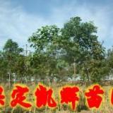 供应楸树,河北楸树,楸树树苗,批发楸树,楸树基地,批发楸树苗圃地