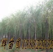 垂柳树苗图片
