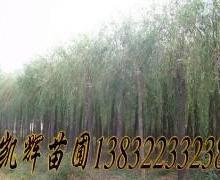 供应河北速生柳树苗批发,供应信息准确。1-20公分。1-9年生苗