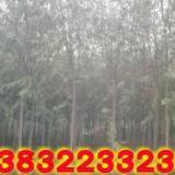 供应定干旱柳,3米定干旱柳树木,2.6米分支旱柳树苗,平头定干树