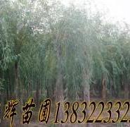 垂柳产地价图片