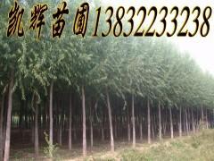 供应博野速生柳,博野县区内46万亩苗圃基地,12万亩柳树树苗出售