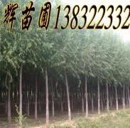 速生柳绿化树图片