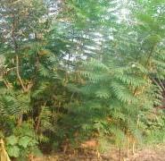 华北火炬树图片