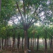 国槐树苗图片