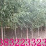 供应清苑馒头柳。苗圃基地,清苑苗圃出售1-29厘米馒头柳树苗。