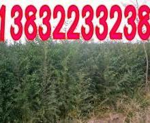 供应定干榆树,定干榆树苗,平头榆树苗,河北榆树基地,榆树价格。