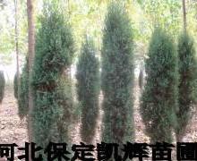 供应北方北京侩,北京侩树苗批发基地,北京侩树苗生产基地,柏树信息
