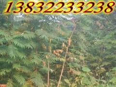 供应河北火炬树苗价格.苗圃基地种植火炬树